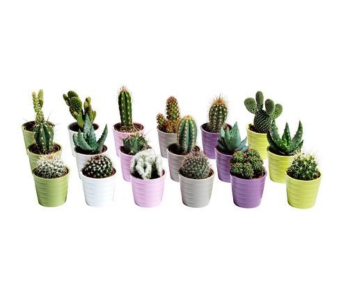 Zestaw 3 kaktusów IKEA, 19,99 zł