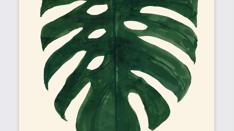 Monstera, zielone liście